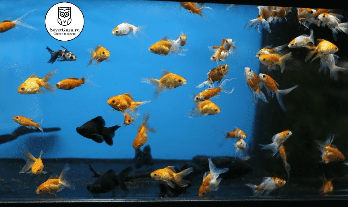 Расчёт количества рыбок с учётом особенностей вида | Сколько рыбок можно держать в аквариуме