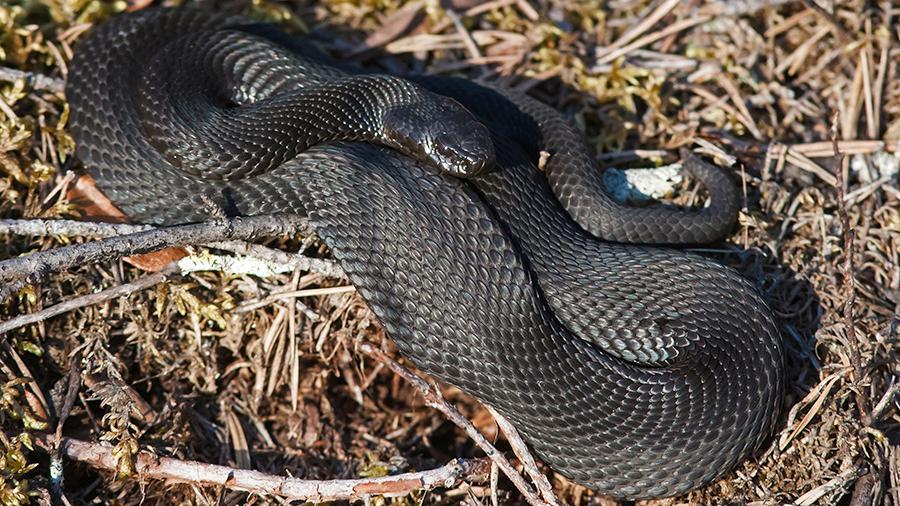 Змеи России | Как отличить ужа от гадюки